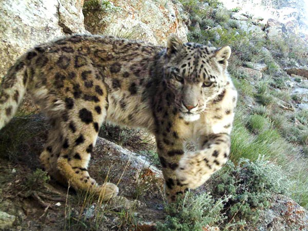 Snow Leopards Afghanistan
