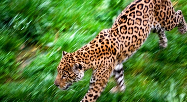 Jaguar Running