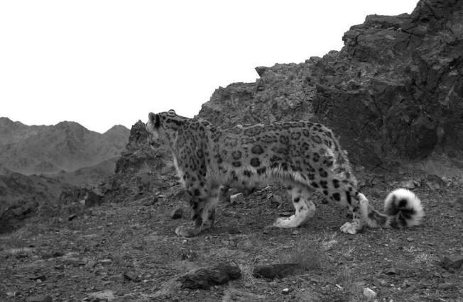 B&W Snow Leopard