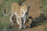 Leopard Cub Adoption
